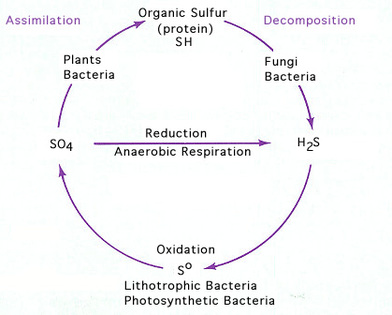 Sulfur cycle including hydrogen sulfide h2s biological waste sulfur cycle including hydrogen sulfide h2s biological waste treatment expert ccuart Images